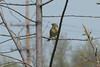 April 21, 2013 (Bellefontaine Conservation Area [at Bluegil Lake parking lot] / Bellefontaine Neighbors, Saint Louis County, Missouri) -- Palm Warbler