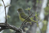 April 24, 2013 (Shaw Nature Reserve [Wetlands Trail] / Gray Summit, Franklin County, Missouri) -- White-eyed Vireo