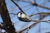 April 5, 2013 (Simpson Lake County Park [near park pavilion] / Valley Park, Saint Louis County, Missouri) -- Carolina Chickadee