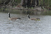 April 24, 2013 (Shaw Nature Reserve [from Wetlands Trail] / Gray Summit, Franklin County, Missouri) -- Canada Geese with two Goslings