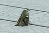 April 6, 2013 (Riverlands Migratory Bird Sanctuary [Audubon Visitor Center] / West Alton, Saint Charles County, Missouri) -- Golden-crowned Kinglet