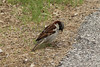 May 10, 2013 (Parkway Central High School [near science building] / Chesterfield, Saint Louis County, Missouri) -- House Sparrow