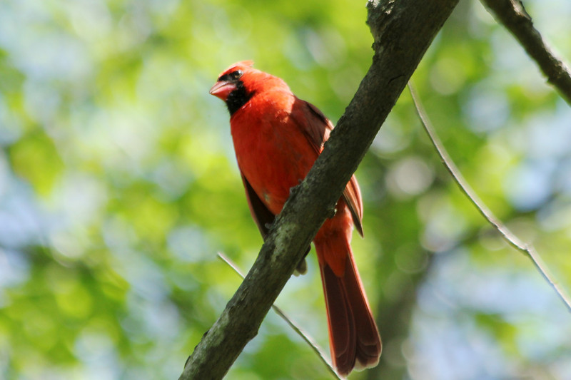 April 29, 2013 (Parkway Central High School [over wooded trail] / Chesterfield, Saint Louis County, Missouri) -- Northern Cardinal