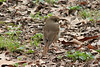 April 9, 2013 (Tower Grove Park [Gaddy Bird Garden] / Saint Louis City, Missouri) -- Hermit Thrush
