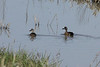 April 7, 2013 (Keeteman Road Sod Farm / Old Monroe, Lincoln County, Missouri) -- Blue-winged Teal