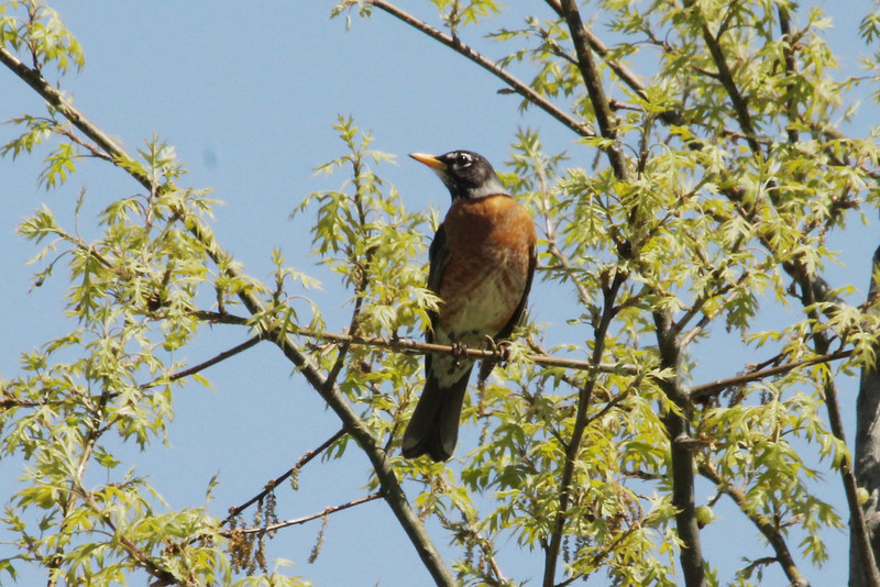 April 29, 2013 (Parkway Central High School [near baseball field] / Chesterfield, Saint Louis County, Missouri) -- American Robin