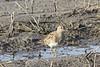 April 7, 2013 (Firma Road [at Dalbow Road] / O'Fallon, Saint Charles County, Missouri) -- Pectoral Sandpiper