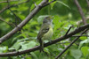 April 27, 2013 - (Castlewood State Park [wooded trail near large field] / Ballwin, Saint Louis County, Missouri) -- White-eyed Vireo