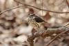 April 2, 2013 (Rockwoods Reservation [Glencoe Road trailhead], Wildwood, Saint Louis County, Missouri) -- Louisiana Waterthrush