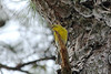 April 7, 2013 (Plant Materials [under Evergreens] / Elsberry, Lincoln County, Missouri) -- Pine Warbler singing