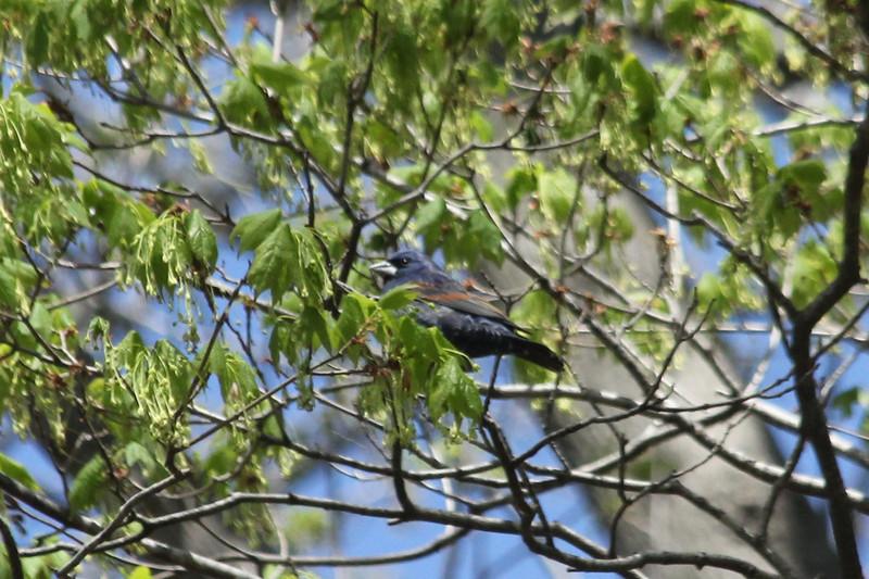 April 2013, Illinois, Monroe County, Fults, Fults Hill Prairie Nature Preserve, Male Blue Grosbeak
