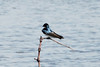 May 6, 2013 (Eagle Bluffs Conservation Area [from 2nd gravel loop] / Columbia, Boone County, Missouri) -- Tree Swallow
