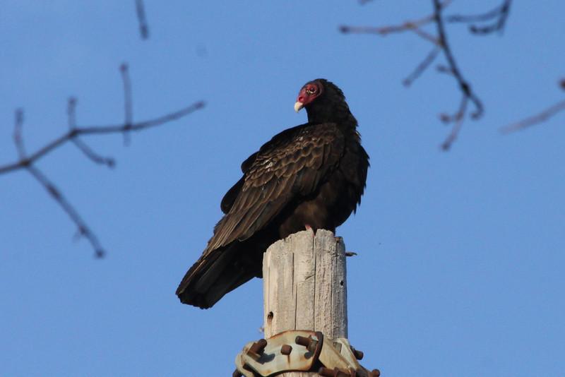 April 7, 2013 (Firma Road [off Hwy 79] / O'Fallon, Saint Charles County, Missouri) -- Turkey Vulture
