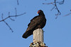 April 7, 2013 (Firma Road [off Hwy 79] / O'Fallon, Saint Charles County, Missouri) -- Turkey Vulture
