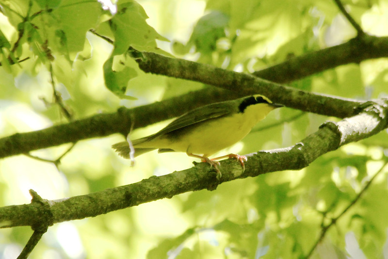 May 13, 2013 (Rockwoods Reservation [at wooded trail across from HQ], Wildwood, Saint Louis County, Missouri) -- Kentucky Warbler
