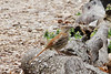 April 9, 2013 (Tower Grove Park [Gaddy Garden] / Saint Louis City, Missouri) -- Brown Thrasher