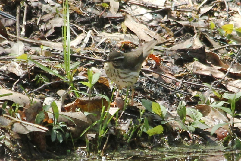 April 24, 2013 (Shaw Nature Reserve [trail near Bascom House] / Gray Summit, Franklin County, Missouri) -- Louisiana Waterthrush
