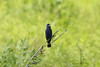 "June 16, 2013 - (Weldon Springs Chemical Plant Disposal [""Mount Doom""] / Weldon Springs, Saint Charles County, Missouri) -- Male Blue Grosbeak"