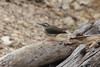 April 13, 2013 (Weldon Springs Conservation Area [Lost Valley Trail] / Defiance, Saint Charles County, Missouri) -- Louisiana Waterthrush