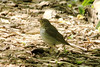 May 11, 2013 (Tower Grove Park [Gaddy Garden] / Saint Louis City, Missouri) -- Swainson's Thrush