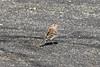 April 13, 2013 (Simpson Lake County Park [on bicycle trail] / Valley Park, Saint Louis County, Missouri) -- Field Sparrow