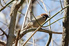 April 5, 2013 (Parkway Central High School [above wooded trail] / Chesterfield, Saint Louis County, Missouri) -- Eurasian Tree Sparrow