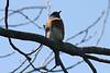 April 14, 2013 (Rockwoods Reservation [near maintenance buildings], Wildwood, Saint Louis County, Missouri) -- Eastern Bluebird