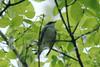 April 27, 2013 - (Castlewood State Park [over road near railroad] / Ballwin, Saint Louis County, Missouri) -- Cerulean Warbler