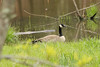April 28, 2013 (Rockwoods Reservation [education pond], Wildwood, Saint Louis County, Missouri) -- Canada Goose