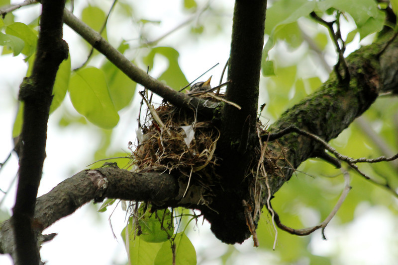 May 4, 2013 (Tower Grove Park [Gaddy Garden] / Saint Louis City, Missouri) -- American Robin on nest [juvenile Robin's bill to left of parent]