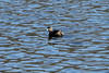 April 13, 2013 (Simpson Lake County Park [largest water treatment pond] / Valley Park, Saint Louis County, Missouri) -- Pied-billed Grebe
