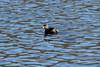 April 13, 2013 (Simpson Lake County Park [largest water treatment pond] / Valley Park, Saint Louis County, Missouri) -- Pied-billed Grebe