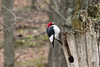 April 11, 2013 - (Lone Elk County Park [in bison enclosure] / Valley Park, Saint Louis County, Missouri) -- Red-headed Woodpecker