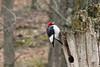 April 11, 2013 - (Lone Elk County Park [in bison enclosure] / Valley Park, Saint Louis County, Missouri) -- Red-headed Woodpecker