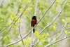 May 6, 2013 (Eagle Bluffs Conservation Area [pond at edge of gravel road] / Columbia, Boone County, Missouri) -- Orchard Oriole