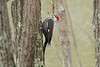 April 11, 2013 - (Lone Elk County Park [in bison enclosure] / Valley Park, Saint Louis County, Missouri) -- Female Pileated Woodpecker