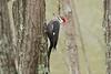 April 11, 2013 - (Lone Elk County Park [in bison enclosure] / Valley Park, Saint Louis County, Missouri) -- Female Pileated Woodpecker