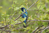 May 6, 2013 (Eagle Bluffs Conservation Area [river access] / Columbia, Boone County, Missouri) -- Indigo Bunting