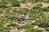 April 4, 2013 (Parkway Central High School [above baseball field] / Chesterfield, Saint Louis County, Missouri) -- Chipping Sparrow