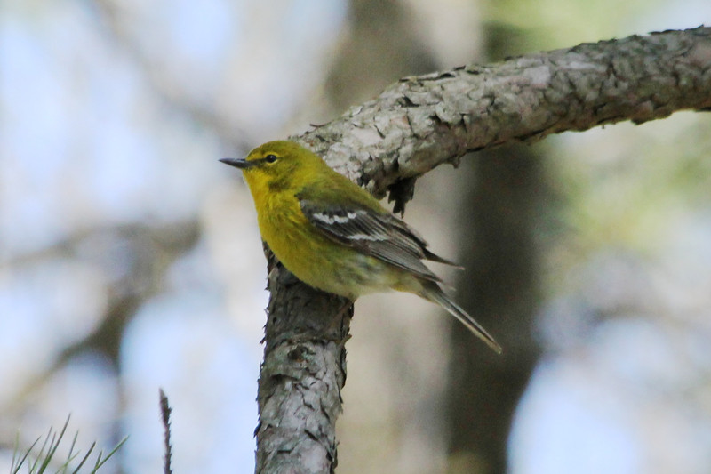 April 24, 2013 (Shaw Nature Reserve [over Quarry Rd near Pinetum Loop Rd] / Gray Summit, Franklin County, Missouri) -- Pine Warbler
