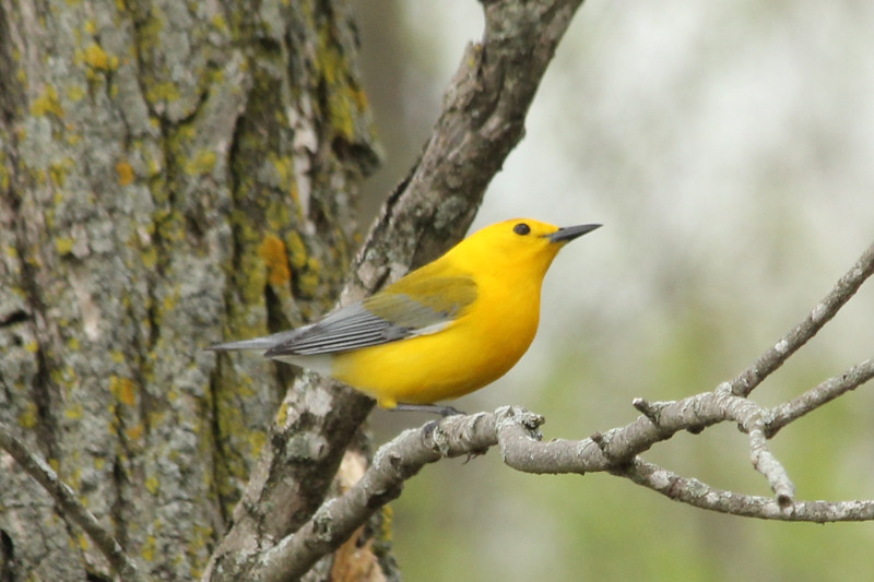 May 6, 2013 (Eagle Bluffs Conservation Area [Pond 8] / Columbia, Boone County, Missouri) -- Male Prothonotary Warbler