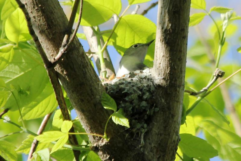 April 29, 2013 (Simpson Lake County Park [over bicycle path] / Valley Park, Saint Louis County, Missouri) -- Blue-gray Gnatcatcher on nest