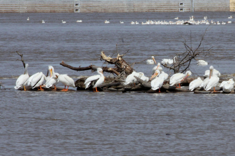 April 21, 2013 (Riverlands Migratory Bird Sanctuary [near Confluence Road] / West Alton, Saint Charles County, Missouri) -- American White Pelicans