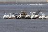 April 21, 2013 (Riverlands Migratory Bird Sanctuary [near Confluence Road] / West Alton, Saint Charles County, Missouri) -- American White Pelicans