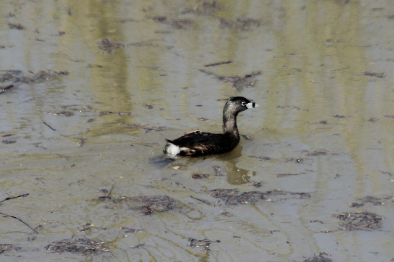 April 20, 2013 (Levee Road [above flooded side of levee] / Valmeyer, Monroe County, Illinois) -- Pied-billed Grebe