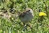 April 24, 2013 (Shaw Nature Reserve [Bascom House parking lot] / Gray Summit, Franklin County, Missouri) -- Field Sparrow
