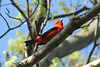 April 20, 2013 (White Rock Nature Preserve [White Mine Trail] / Valmeyer, Monroe County, Illinois) -- Scarlet Tanager