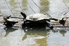April 24, 2013 (Shaw Nature Reserve [trail near Bascom House] / Gray Summit, Franklin County, Missouri) -- Turtles