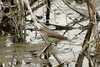 May 6, 2013 (Eagle Bluffs Conservation Area [Pond 8] / Columbia, Boone County, Missouri) -- Northern Waterthrush