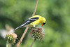 July 5, 2013 (Parkway Central High School [below radio tower] / Chesterfield, Saint Louis County, Missouri) -- Male American Goldfinch